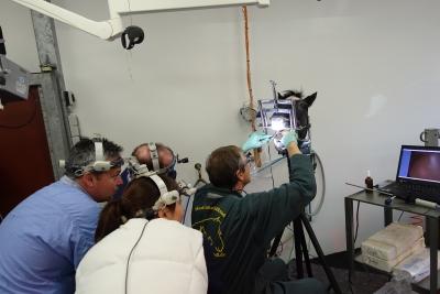 Zahnfortbildung 28.-30. Nov. 2018: Zahnextraktion beim Pferd mit Fokus auf die minimalinvasive Bukkotomie und Schraubextraktion